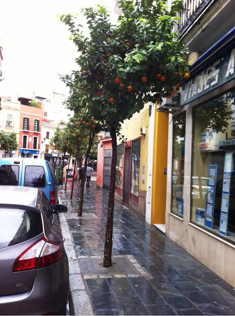 Some orange trees in a street in Seville