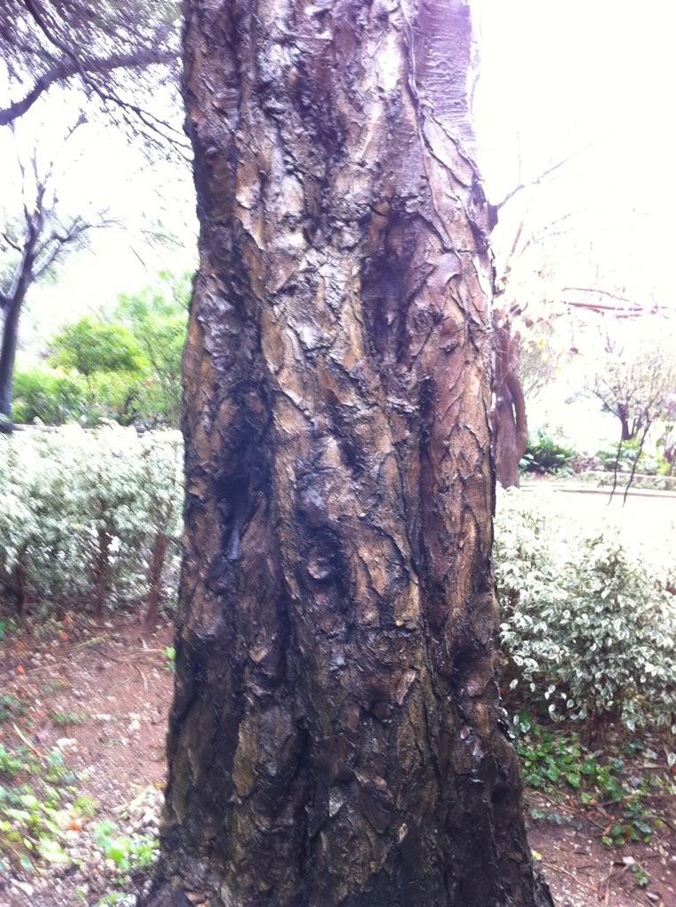 Speciman at the Botanic Gardens at Gibraltar