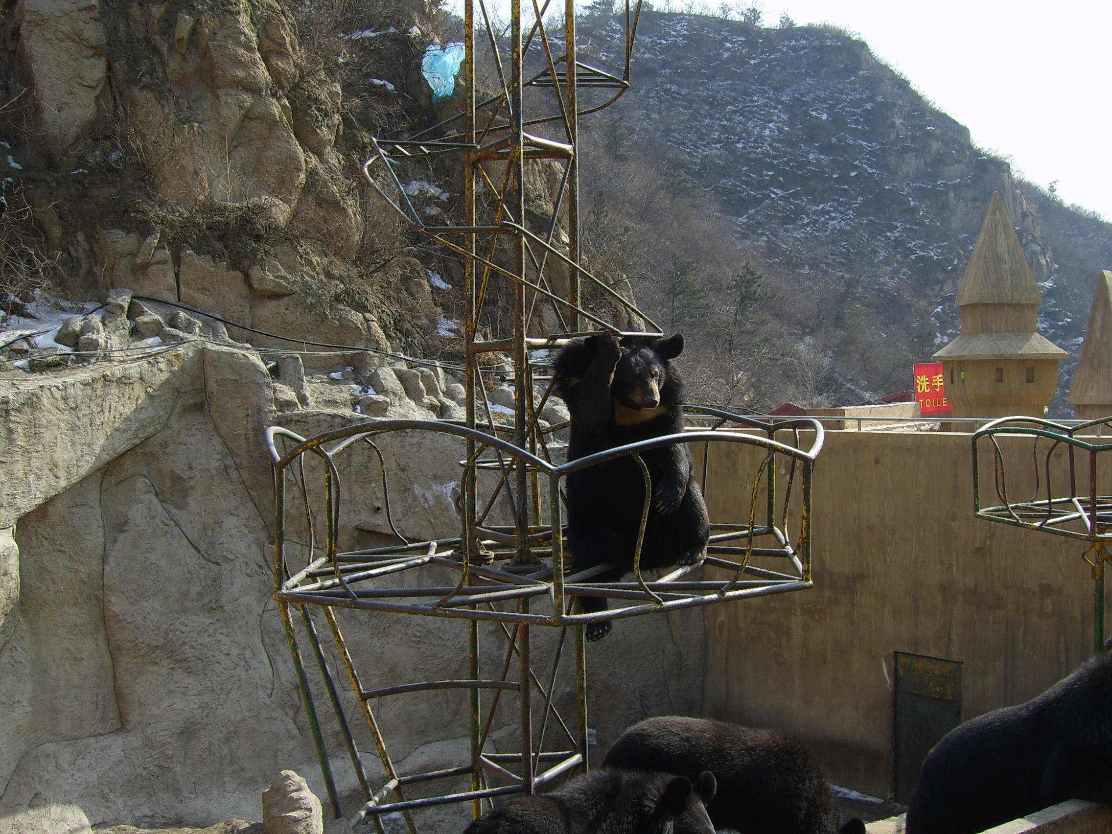 Begging Bears - Great Wall of China