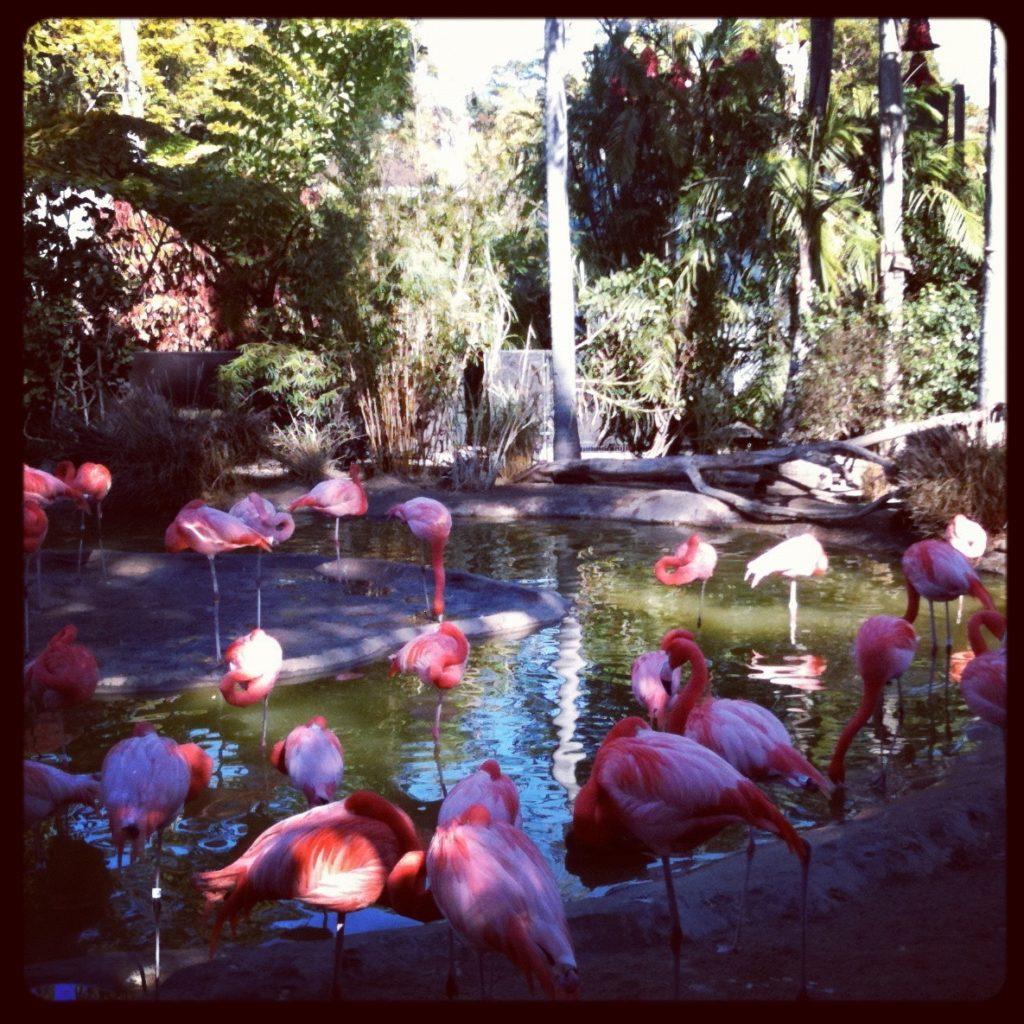 Flamingos at San Diego Zoo